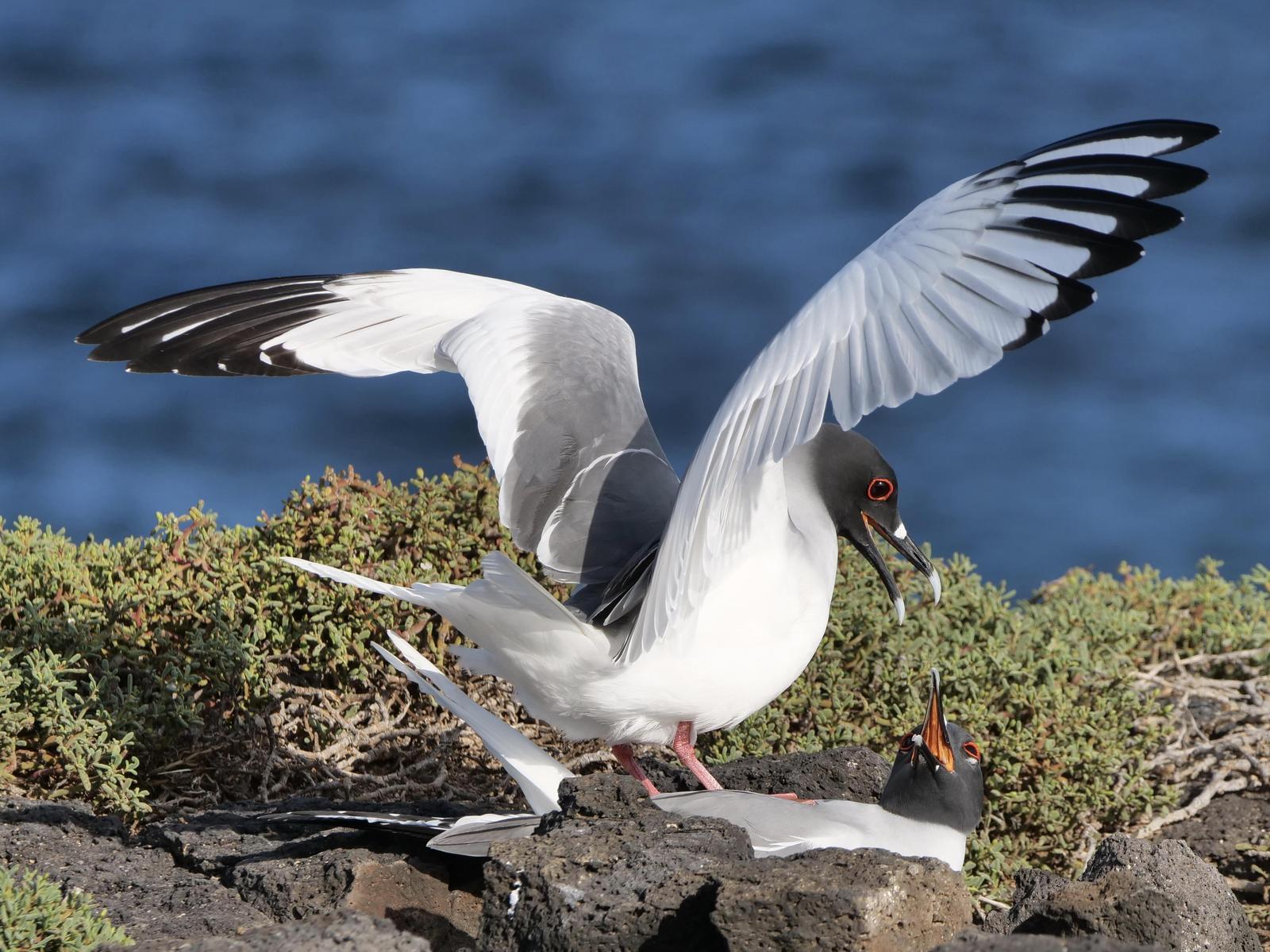 Swallow-tailed Gull Photo by A G Wynn