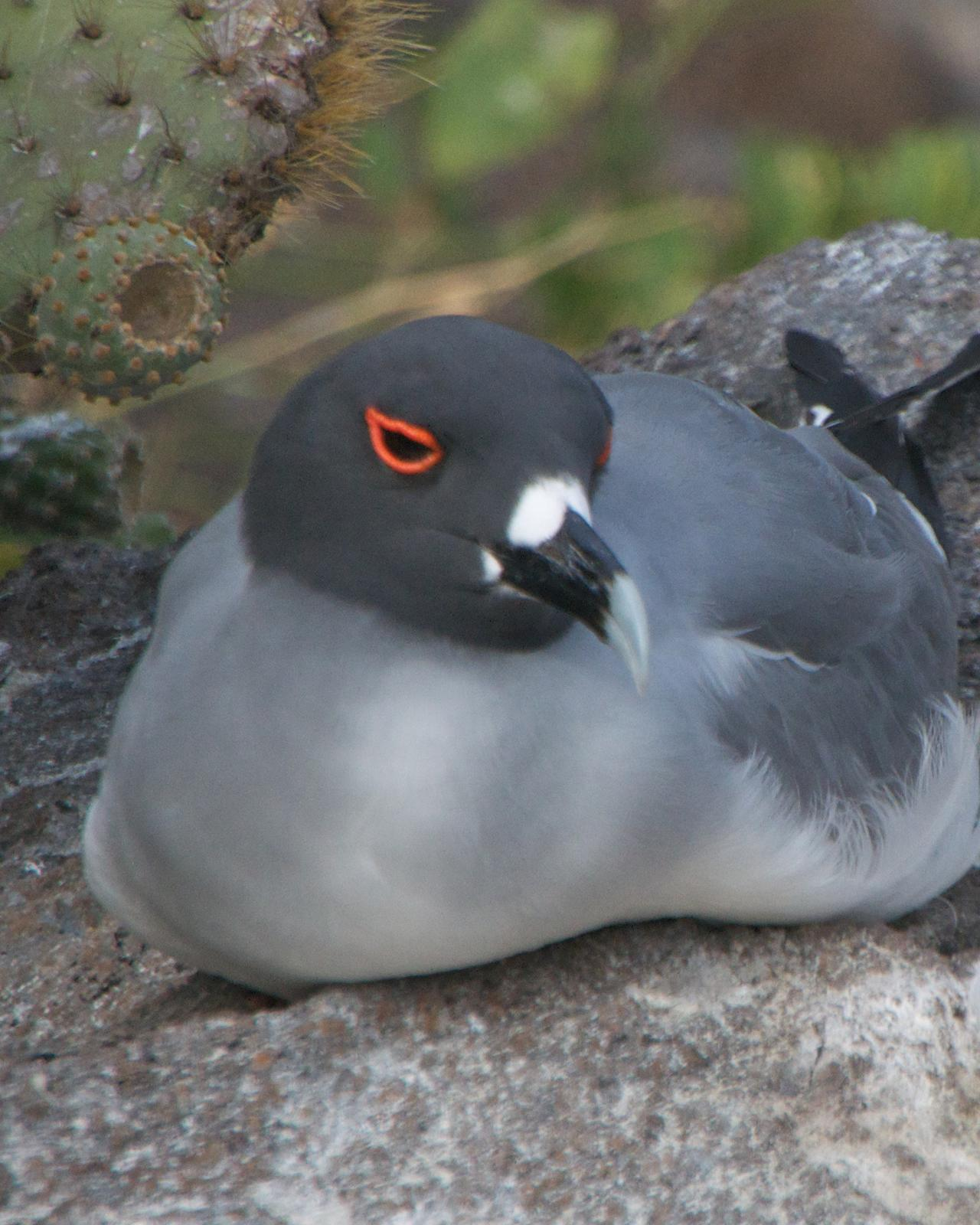 Swallow-tailed Gull Photo by Robin Barker