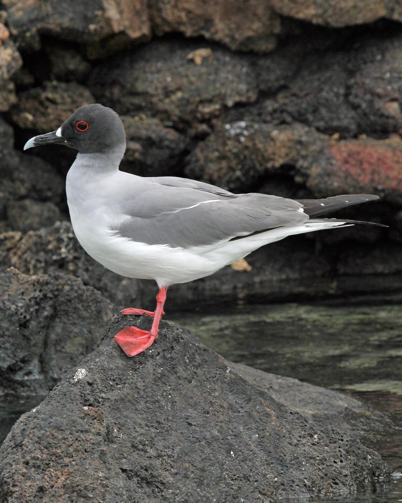 Swallow-tailed Gull Photo by Robert Polkinghorn