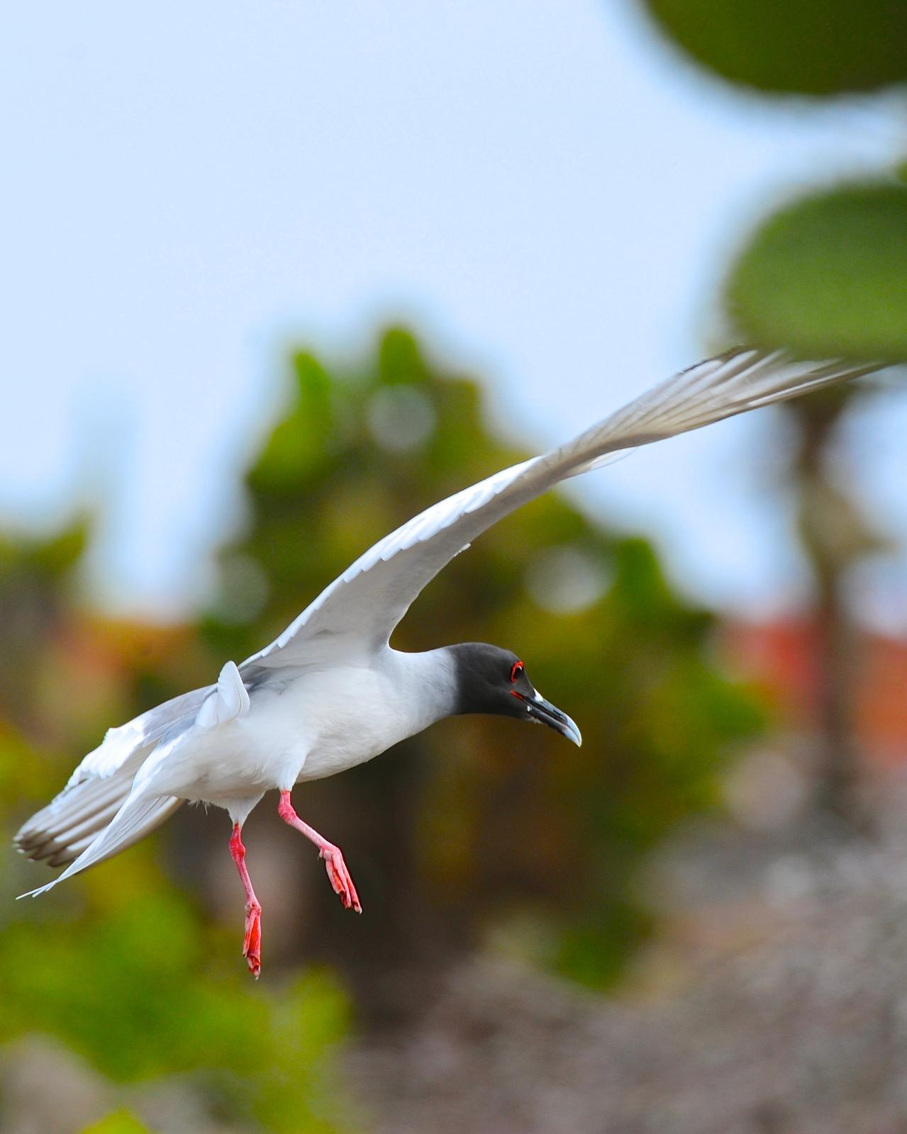 Swallow-tailed Gull Photo by Gerald Friesen
