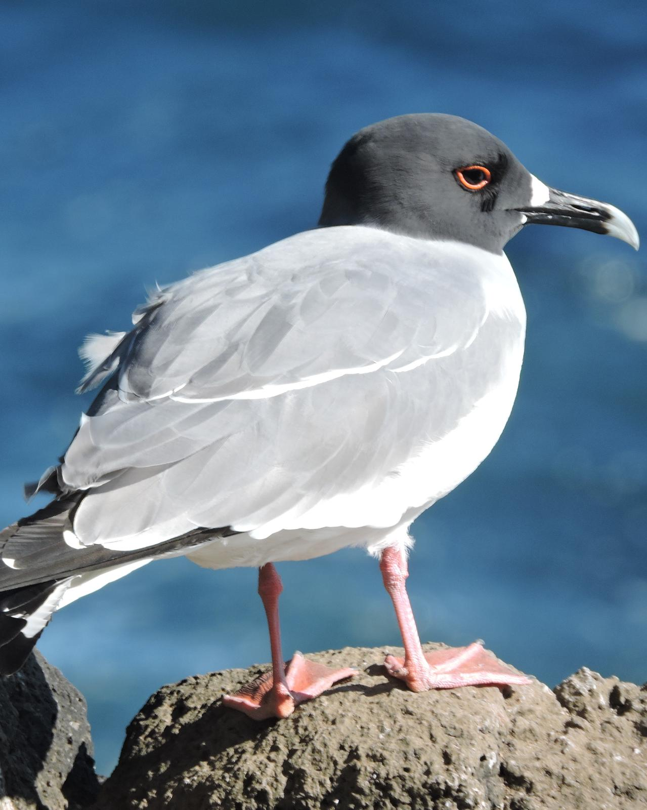 Swallow-tailed Gull Photo by Peter Lowe
