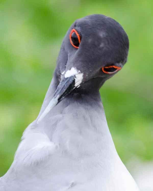 Swallow-tailed Gull Photo by Bob Hasenick