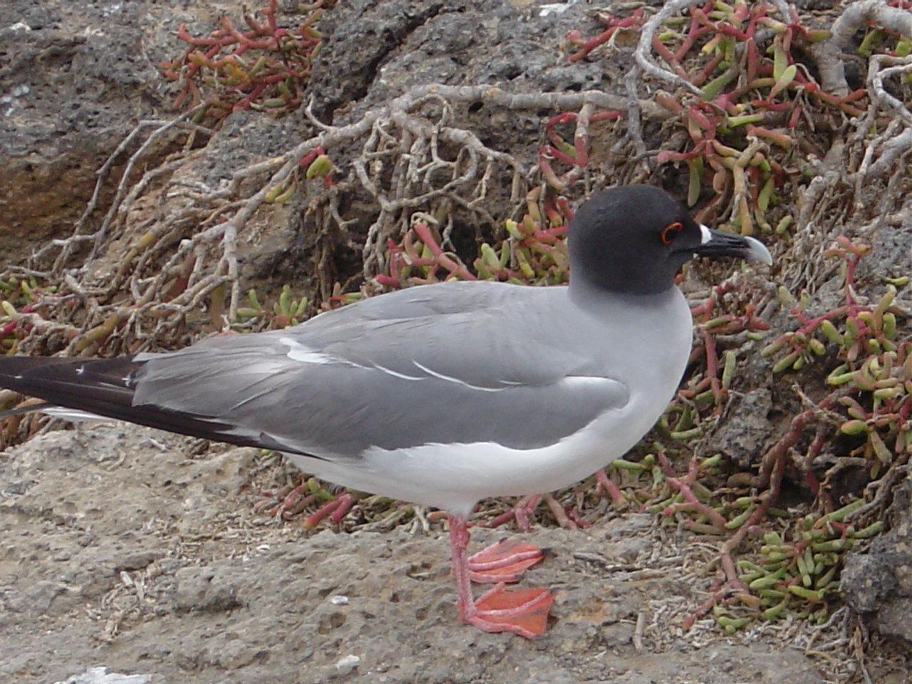 Swallow-tailed Gull Photo by Tony Heindel