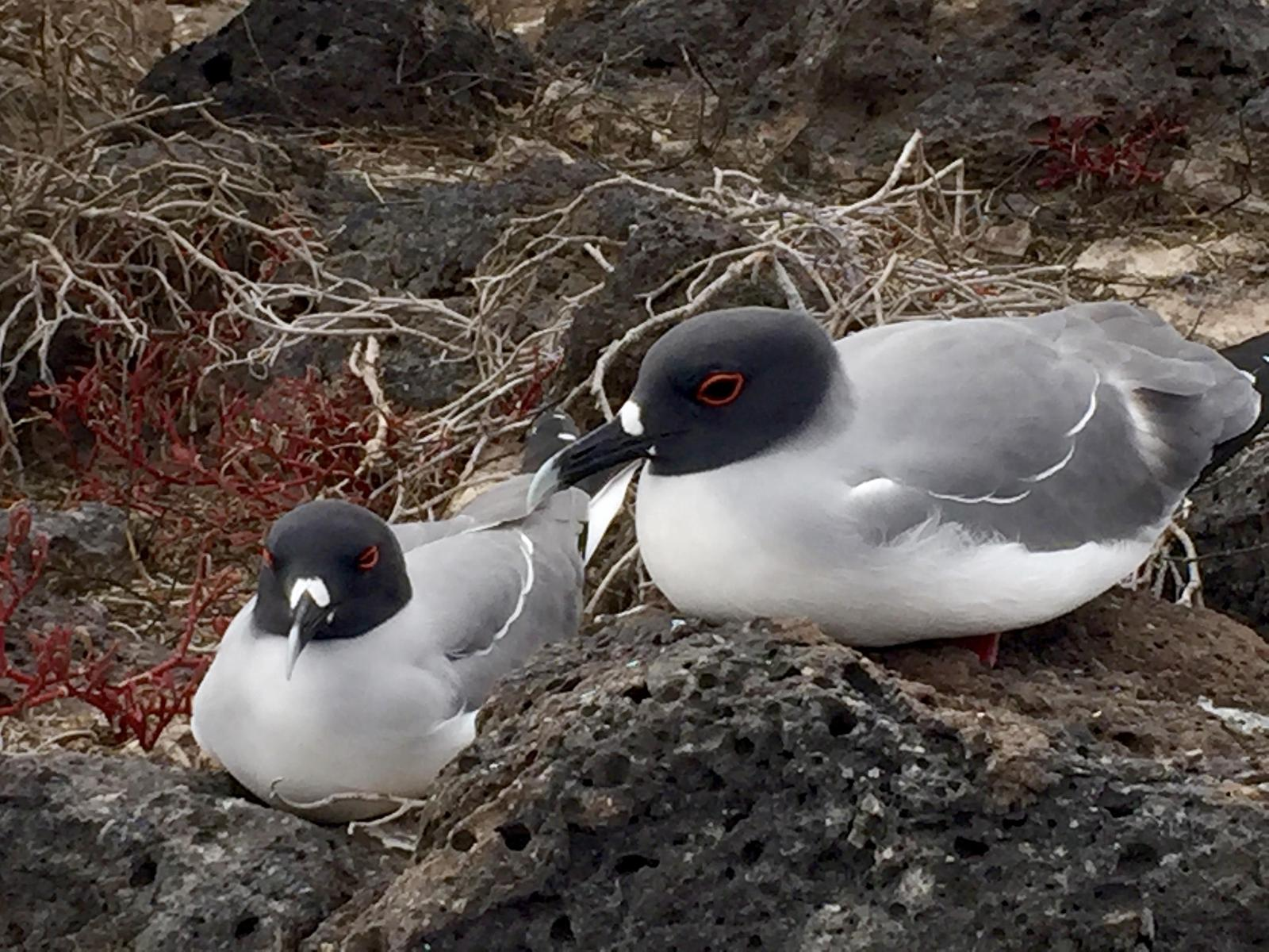 Swallow-tailed Gull Photo by Debbie Klingender