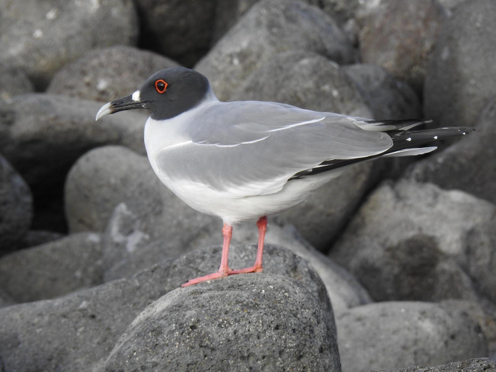 Swallow-tailed Gull Photo by Nancy  O'Hara
