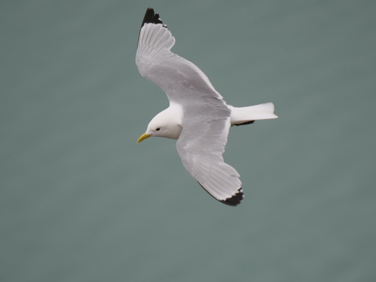 Black-legged Kittiwake Photo by Peter Lowe