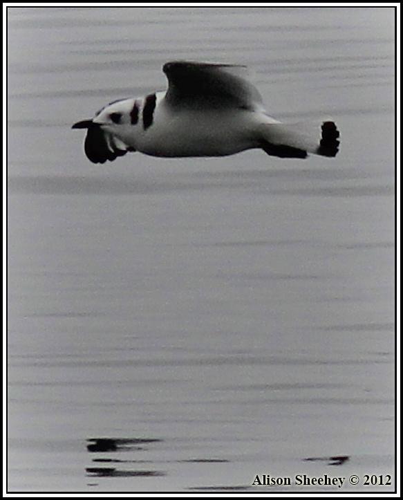 Black-legged Kittiwake Photo by Alison Sheehey