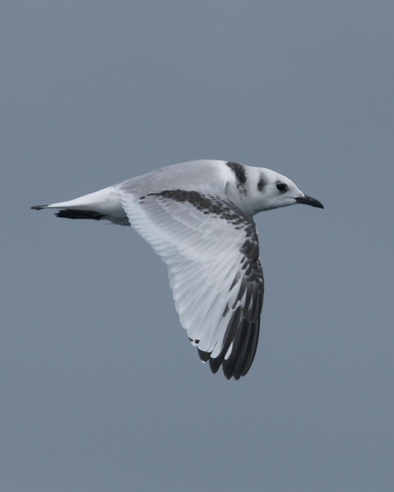 Black-legged Kittiwake Photo by Steve Percival