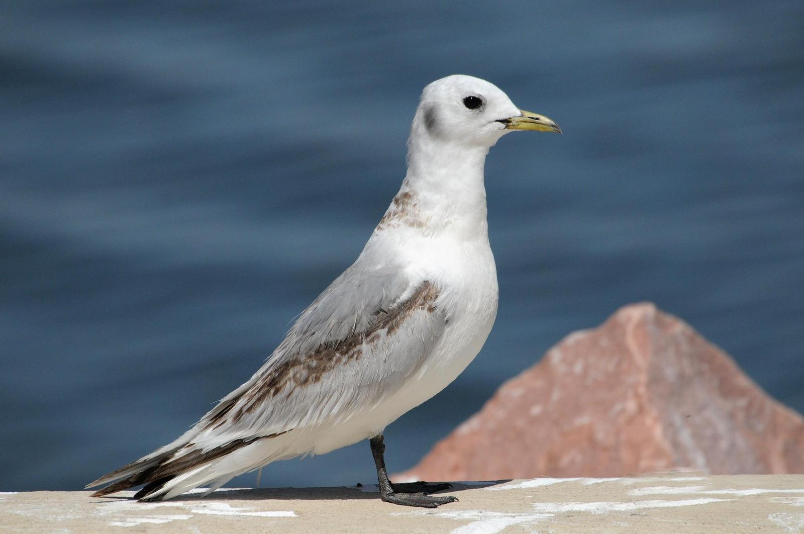 Black-legged Kittiwake Photo by Steven Mlodinow