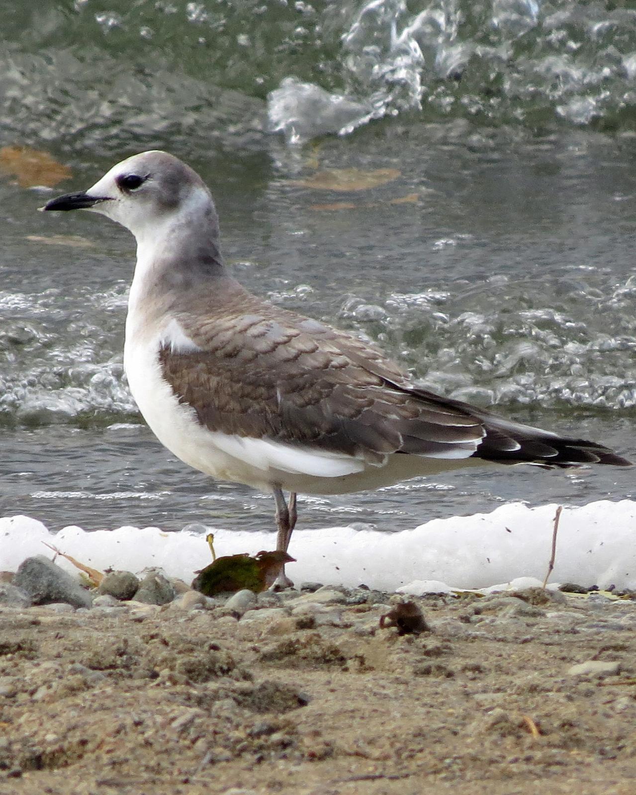 Sabine's Gull Photo by Kelly Preheim