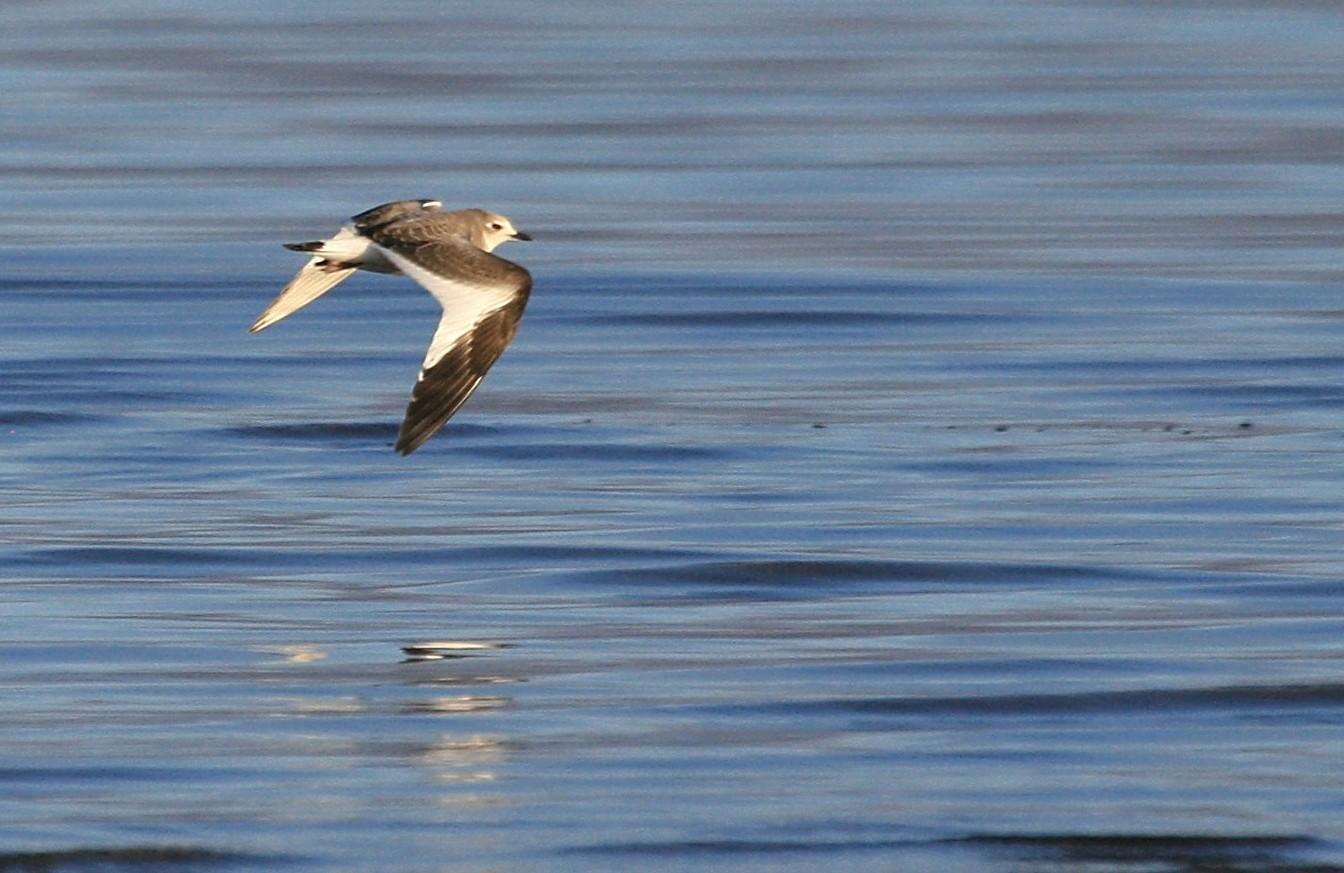 Sabine's Gull Photo by Aaron Hywarren