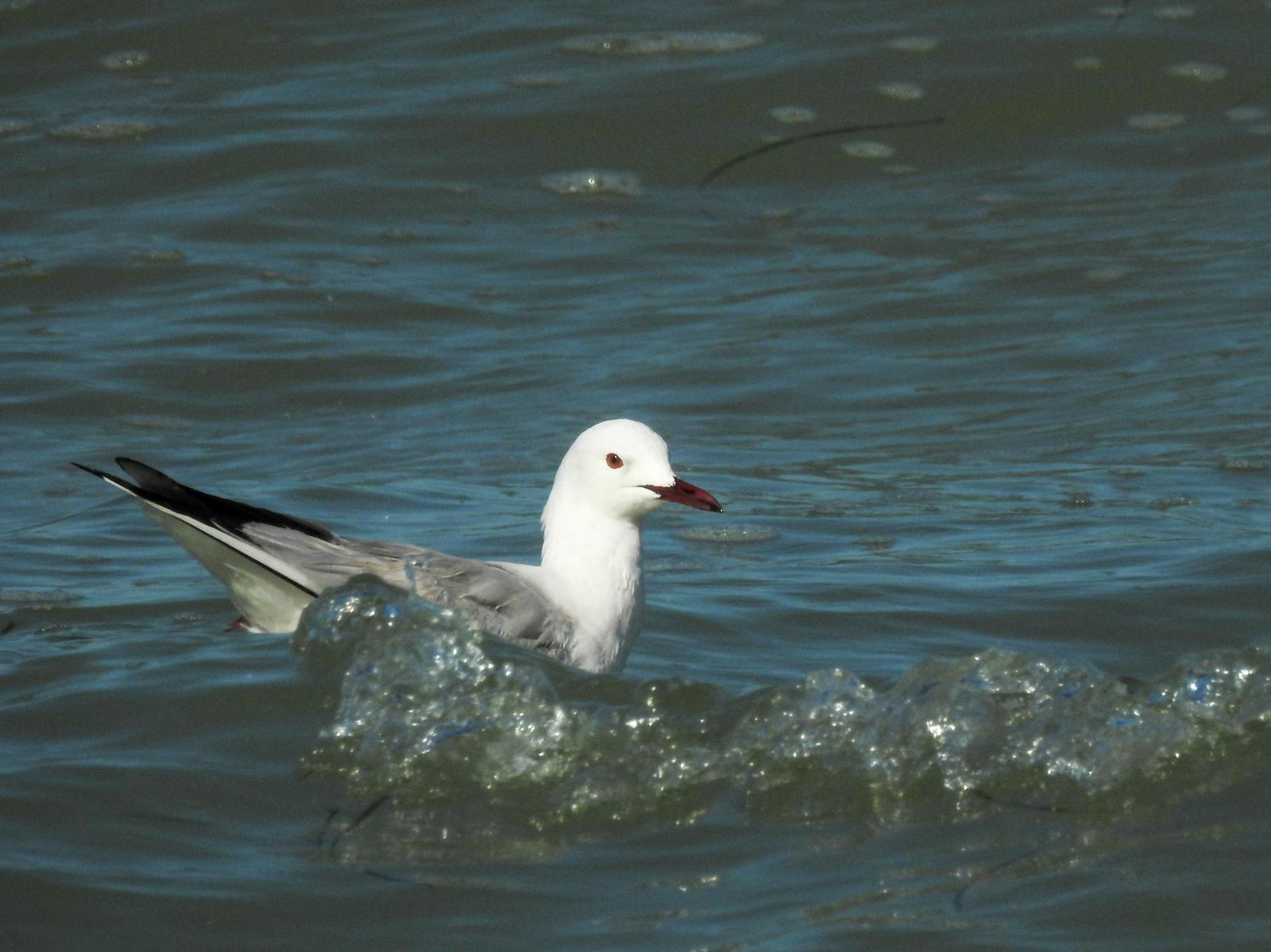 Slender-billed Gull Photo by African Googre
