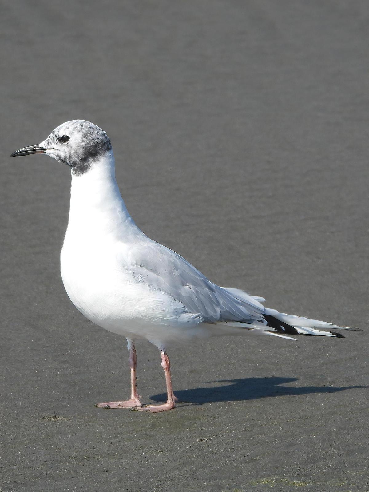 Bonaparte's Gull Photo by Dan Tallman