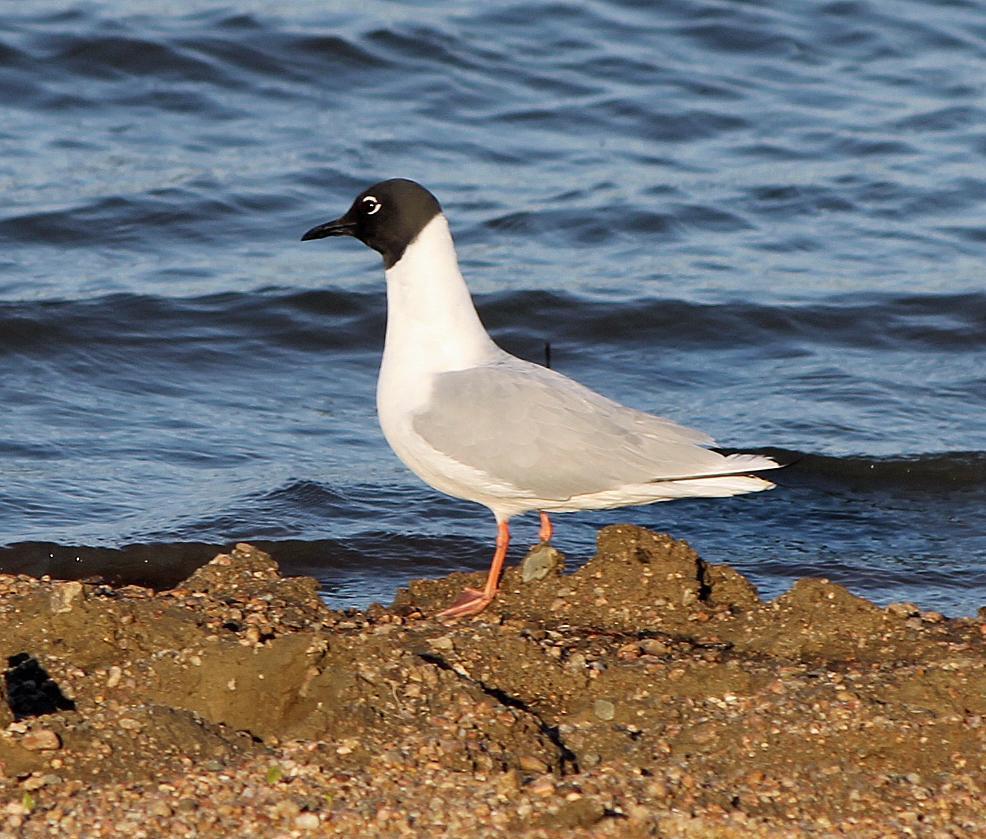 Bonaparte's Gull Photo by Tom Gannon