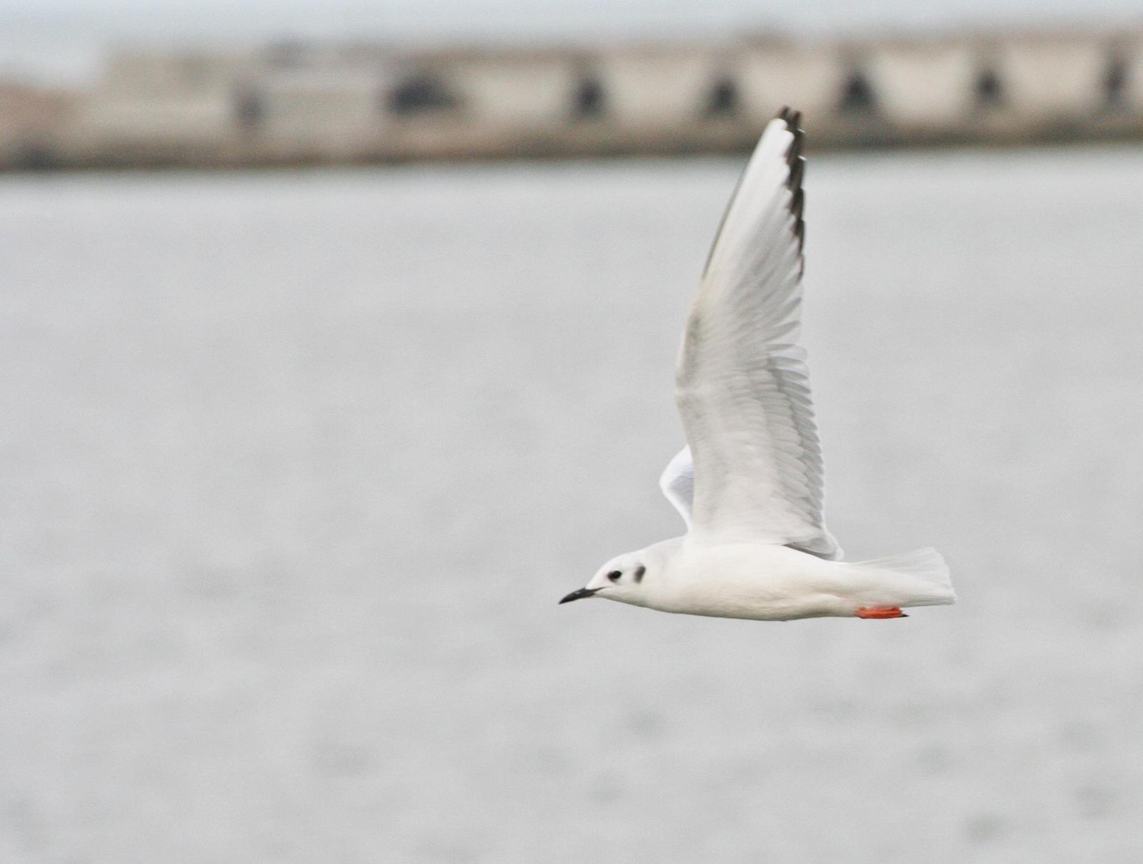 Bonaparte's Gull Photo by Andrew Theus
