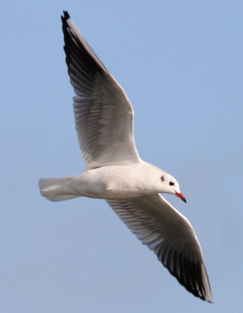 Black-headed Gull Photo by Andrew Theus
