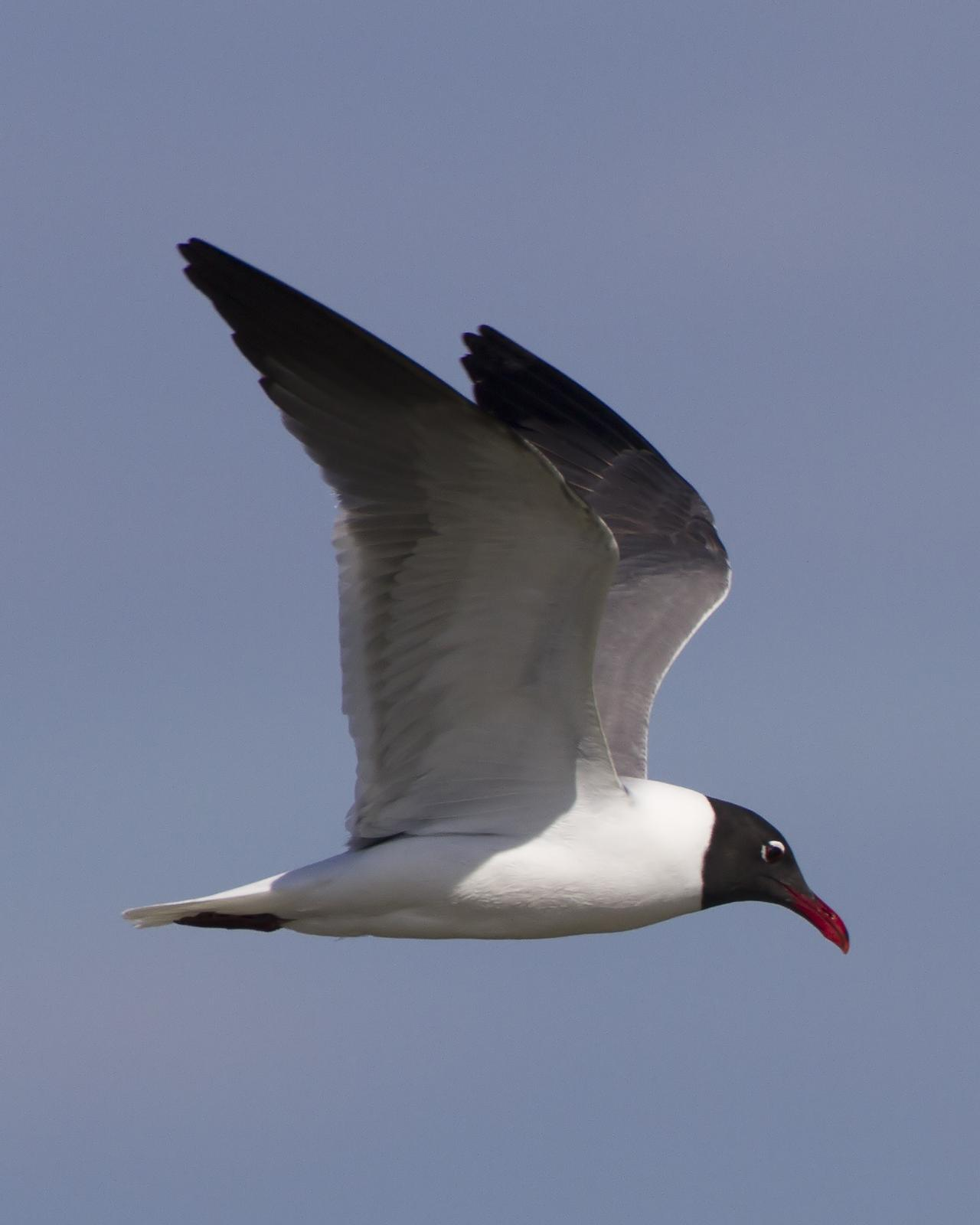Laughing Gull Photo by Bill Adams