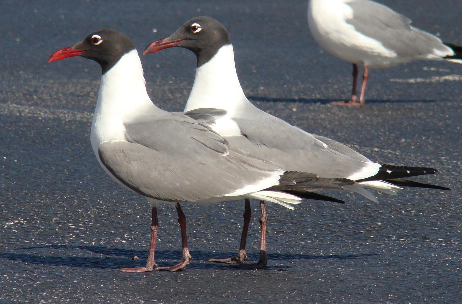 Laughing Gull Photo by Bob Heitzman