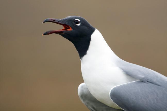 Laughing Gull Photo by Dan Tallman