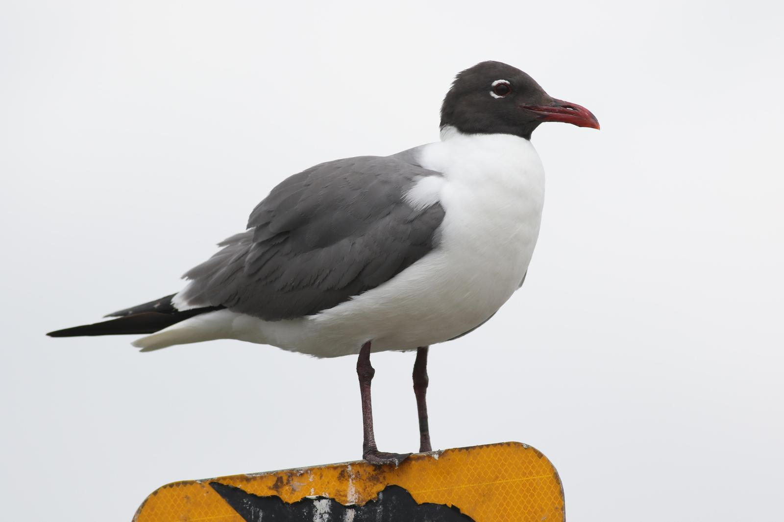 Laughing Gull Photo by Tom Ford-Hutchinson