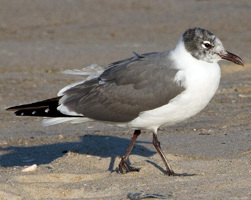 Laughing Gull Photo by Ashley Bradford