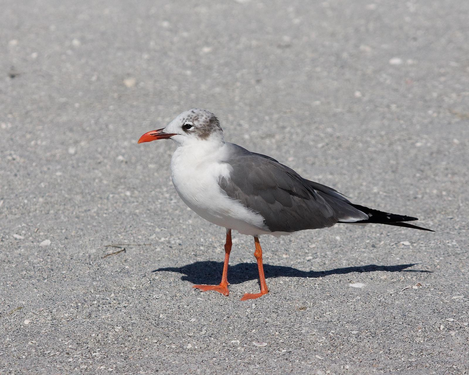 Laughing Gull Photo by Gerald Hoekstra