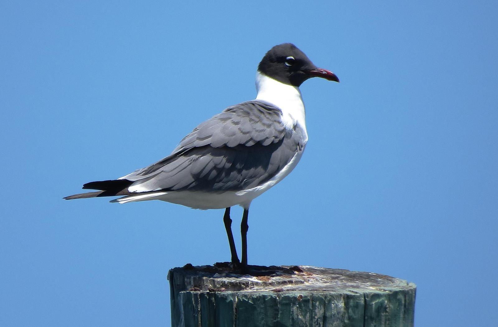 Laughing Gull Photo by Kent Jensen