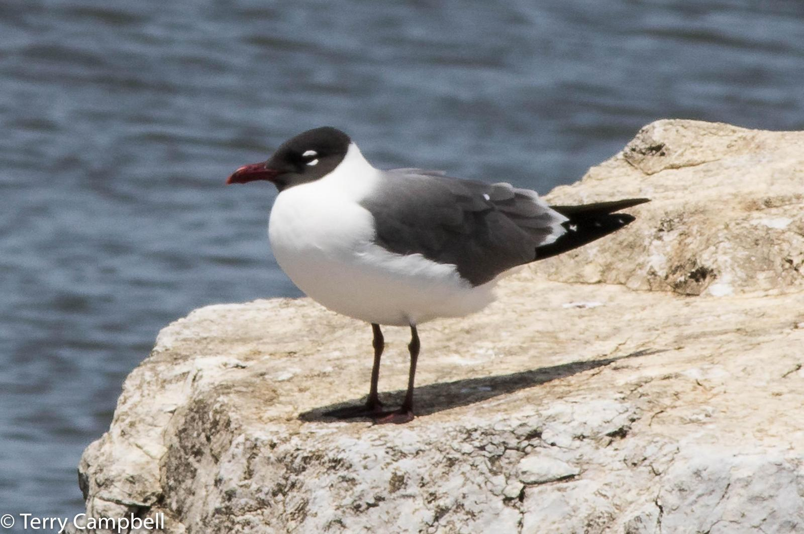Laughing Gull Photo by Terry Campbell