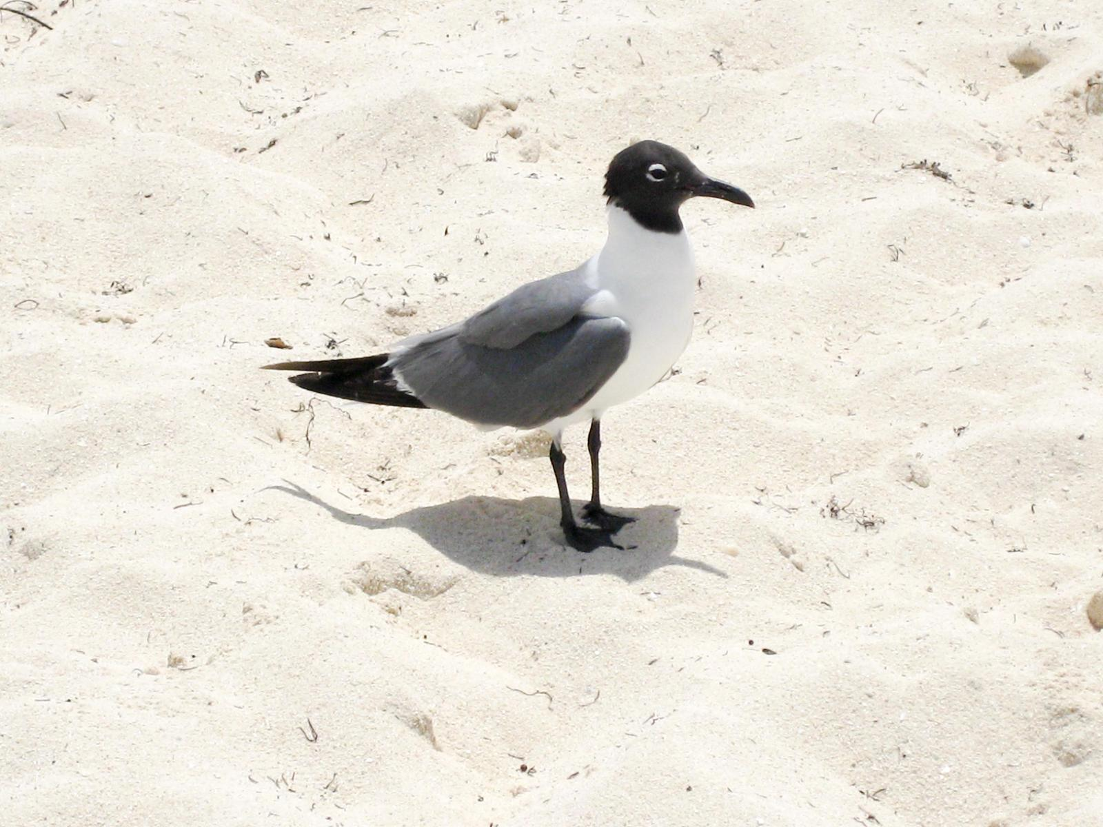 Laughing Gull Photo by Roseanne CALECA