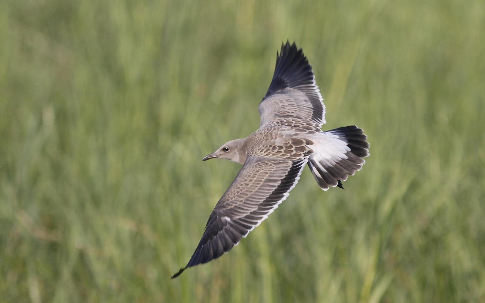 Laughing Gull Photo by Tim Schreckengost