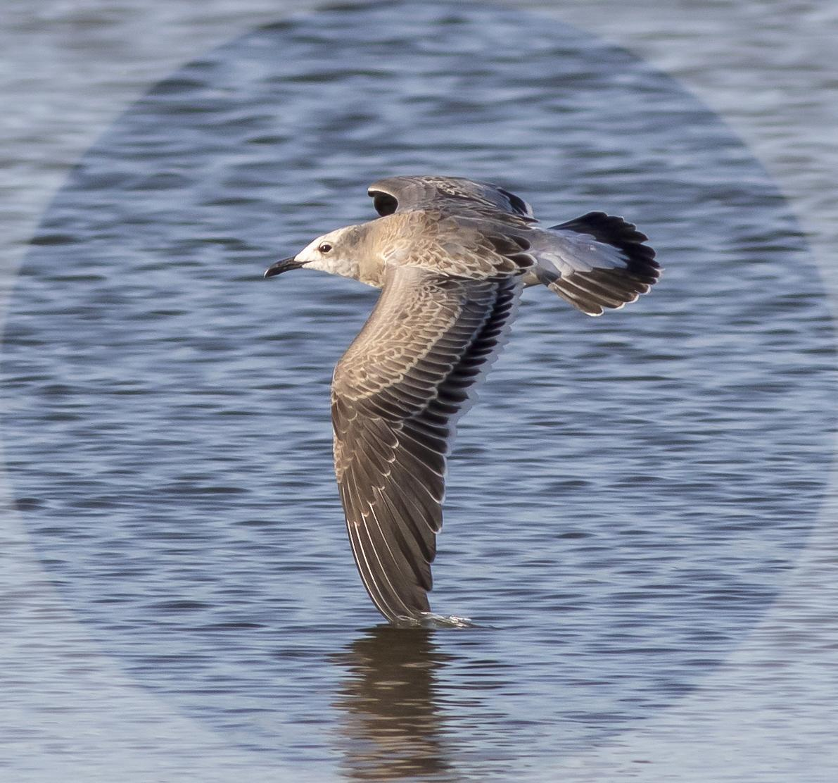Laughing Gull Photo by Tom Gannon