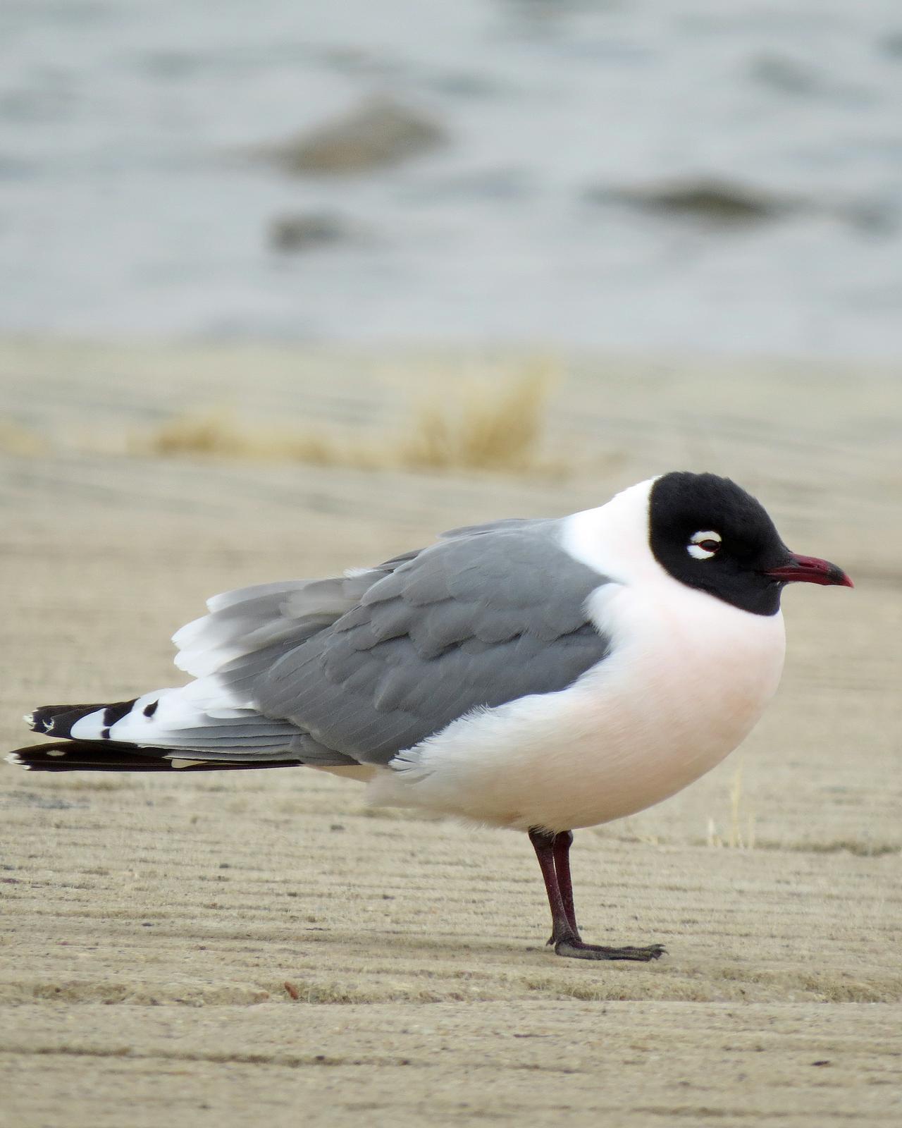 Franklin's Gull Photo by Kelly Preheim