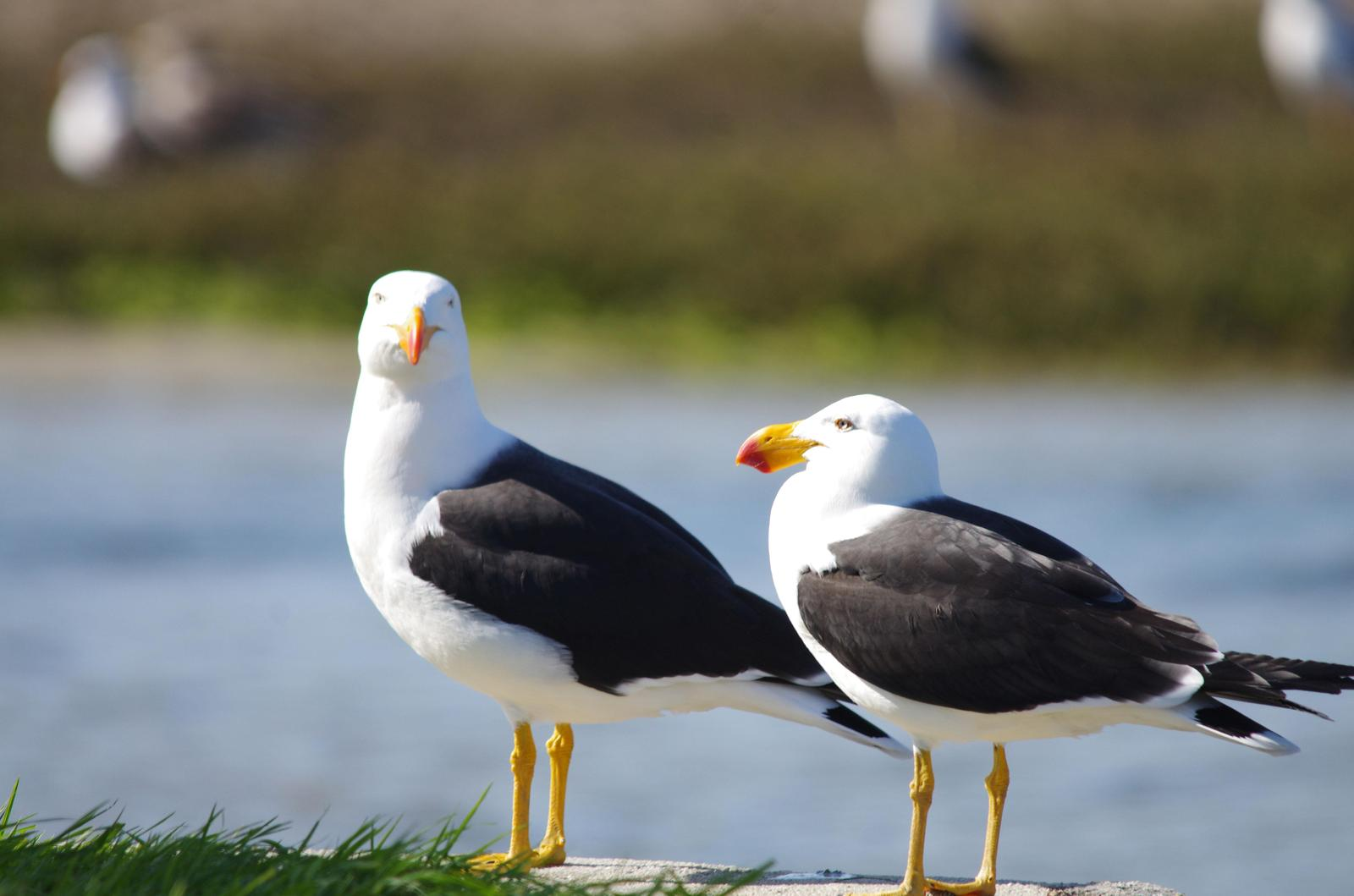 Pacific Gull Photo by Richard Lund