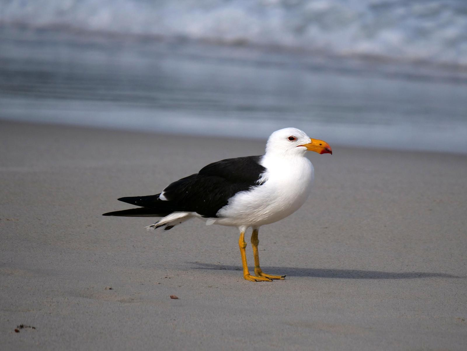 Pacific Gull Photo by Peter Lowe