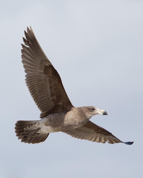 Pacific Gull Photo by Mat Gilfedder