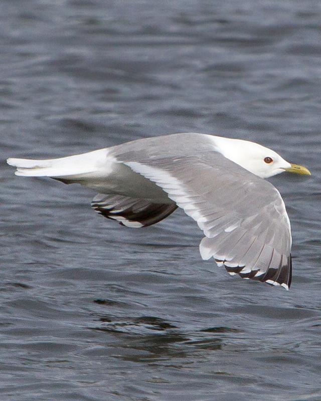 Mew Gull Photo by Ashley Bradford