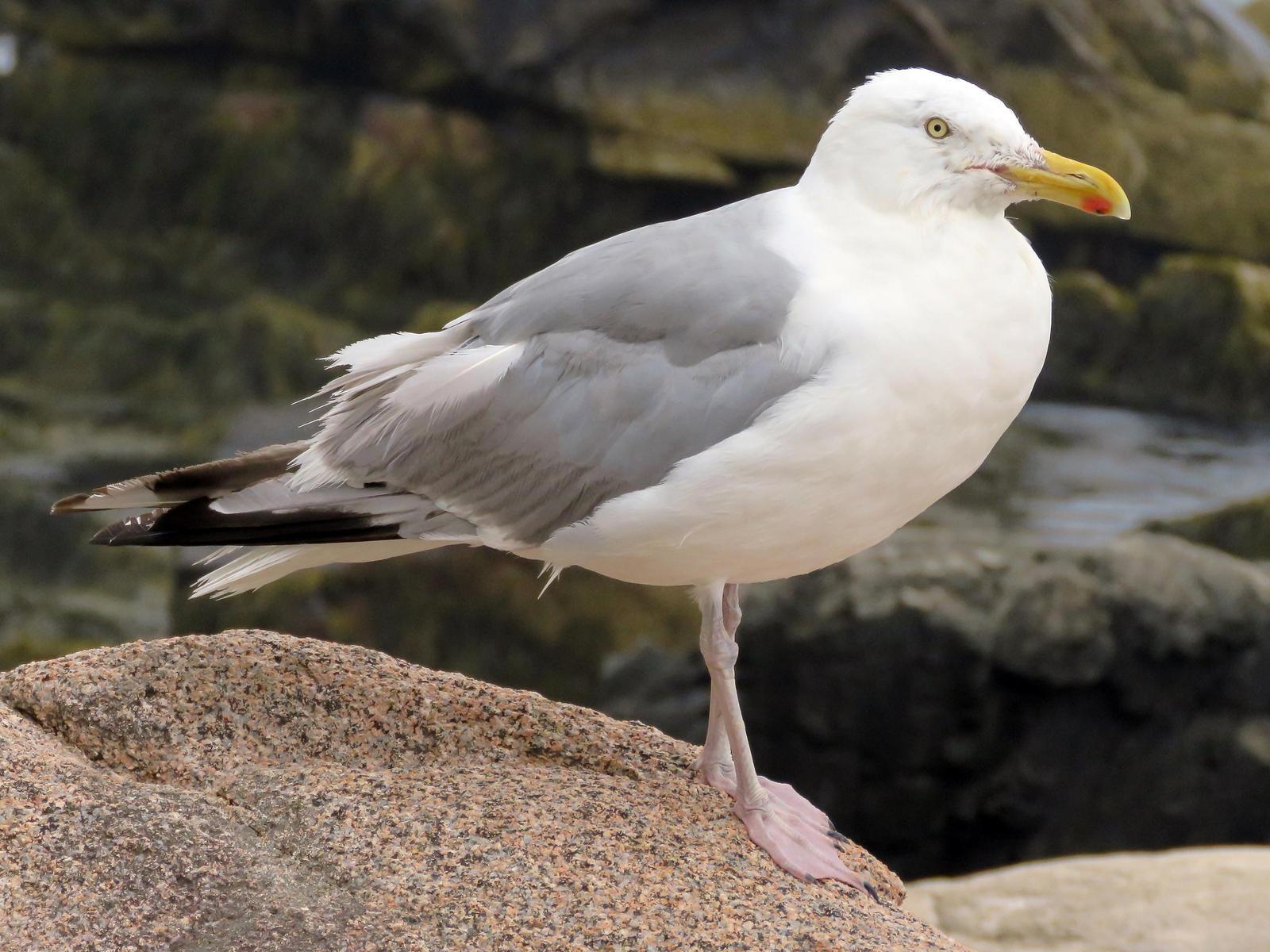 Herring Gull Photo by Bob Neugebauer