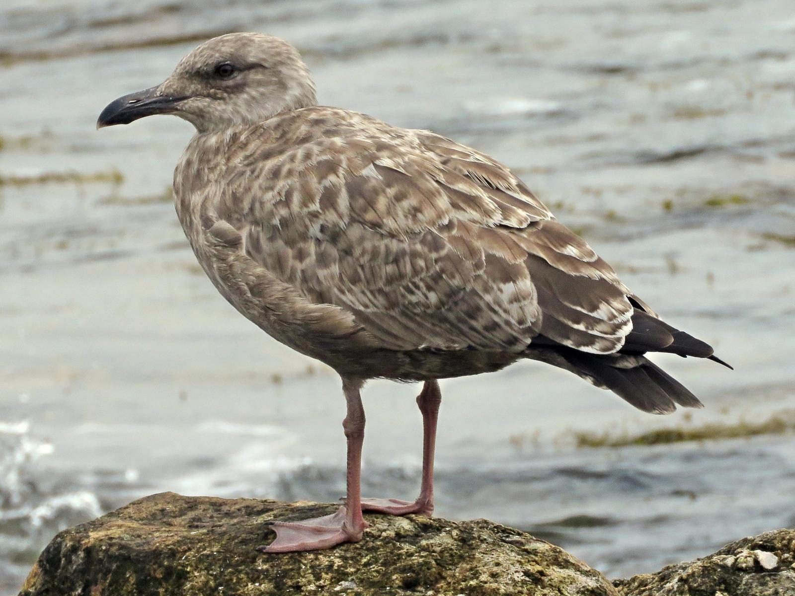 Herring Gull Photo by Bob Neugebauer