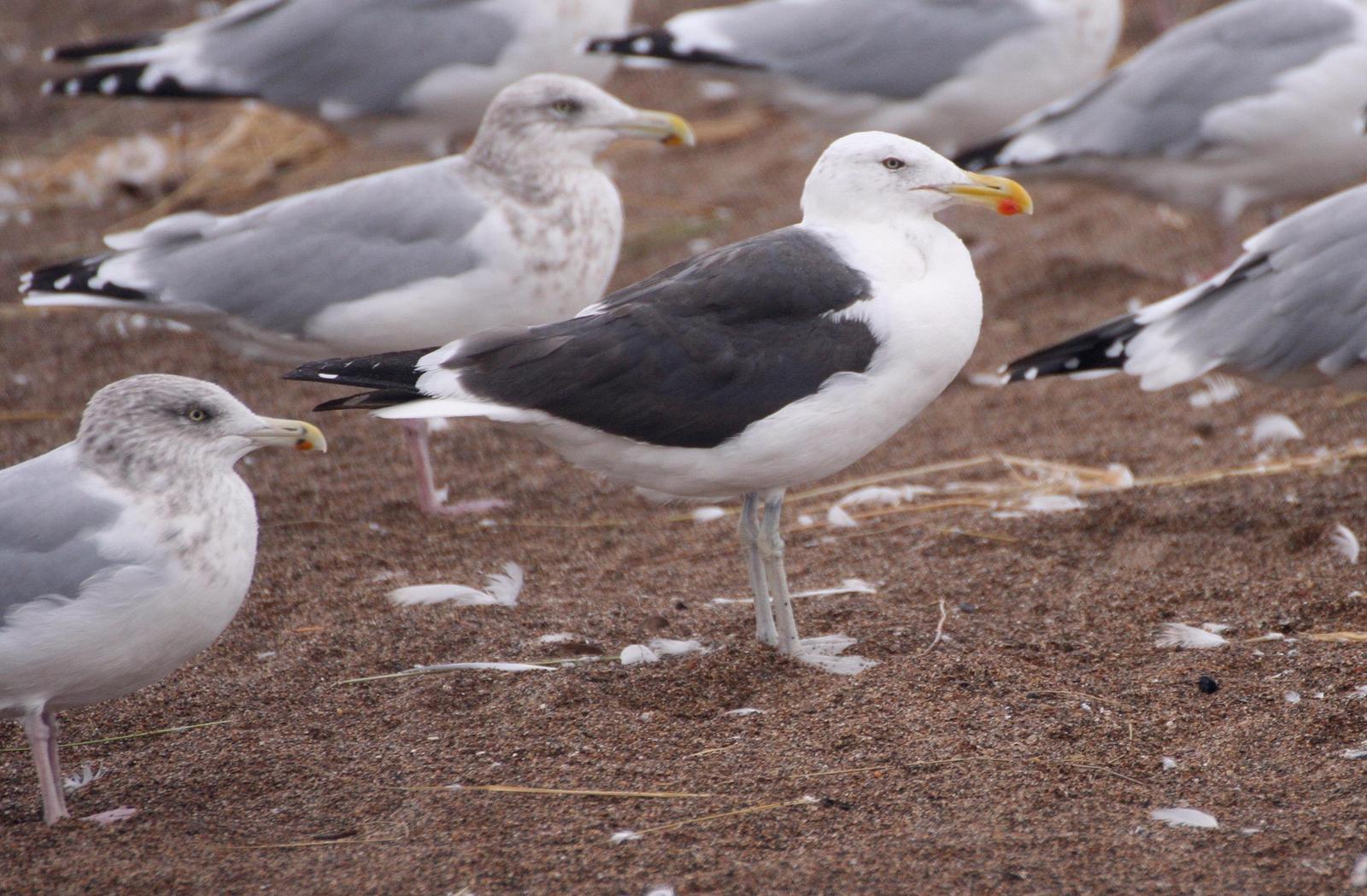 Herring x Kelp Gull (hybrid) Photo by Andrew Theus