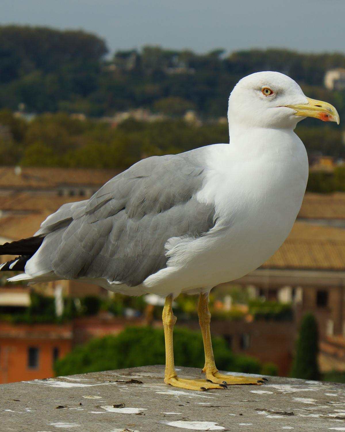 Yellow-legged Gull Photo by Robin Oxley