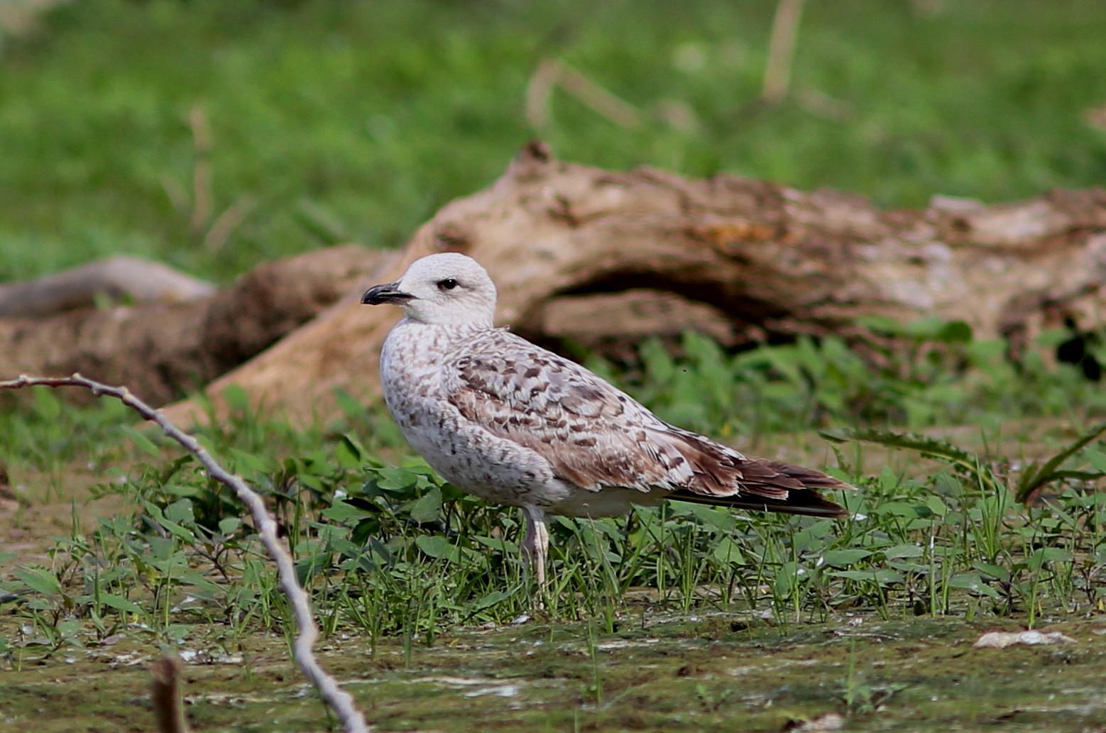 Yellow-legged Gull Photo by Rohan van Twest