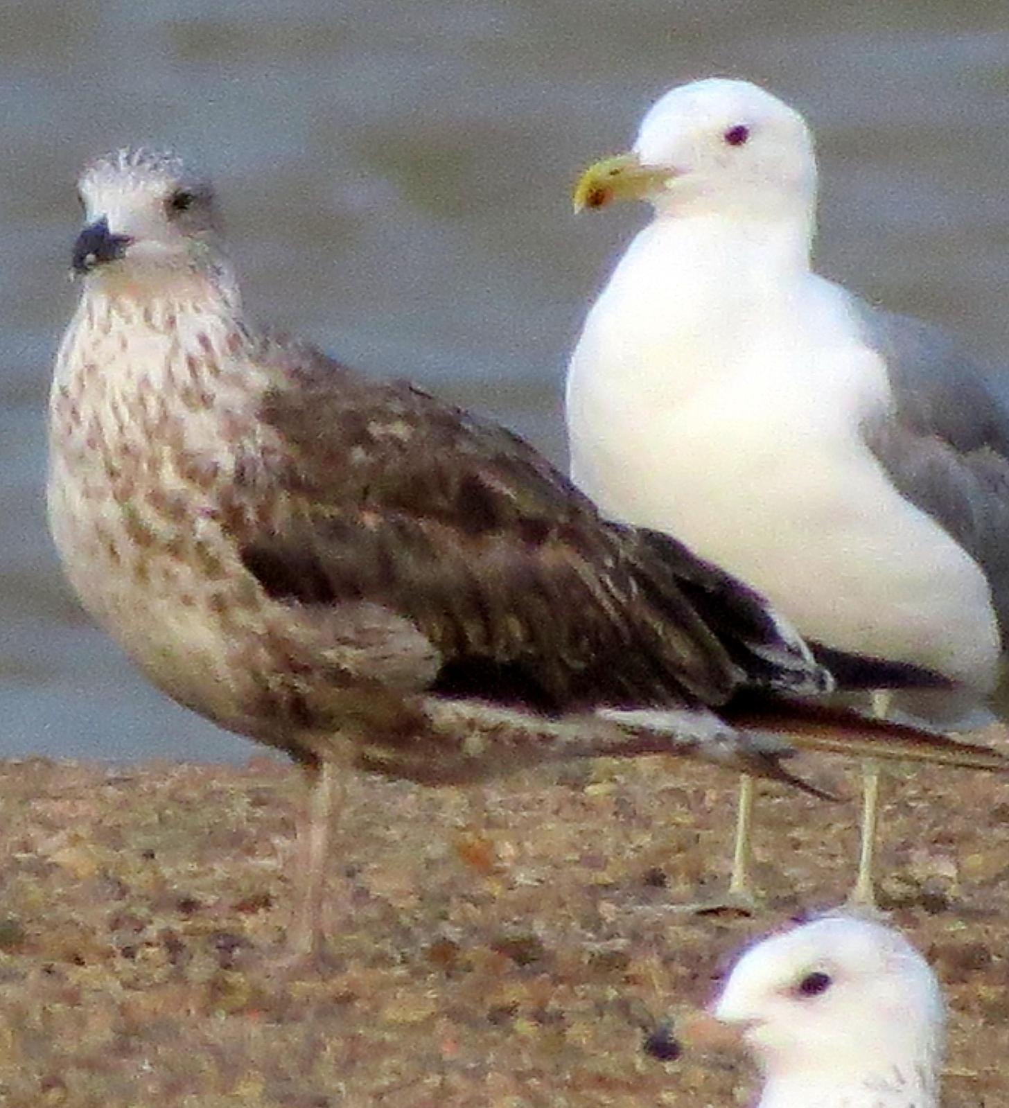 Lesser Black-backed Gull Photo by Kent Jensen