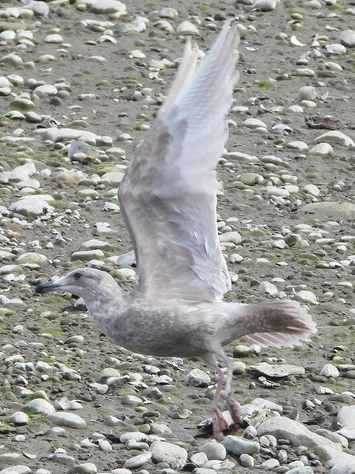 Glaucous-winged Gull Photo by Dan Tallman