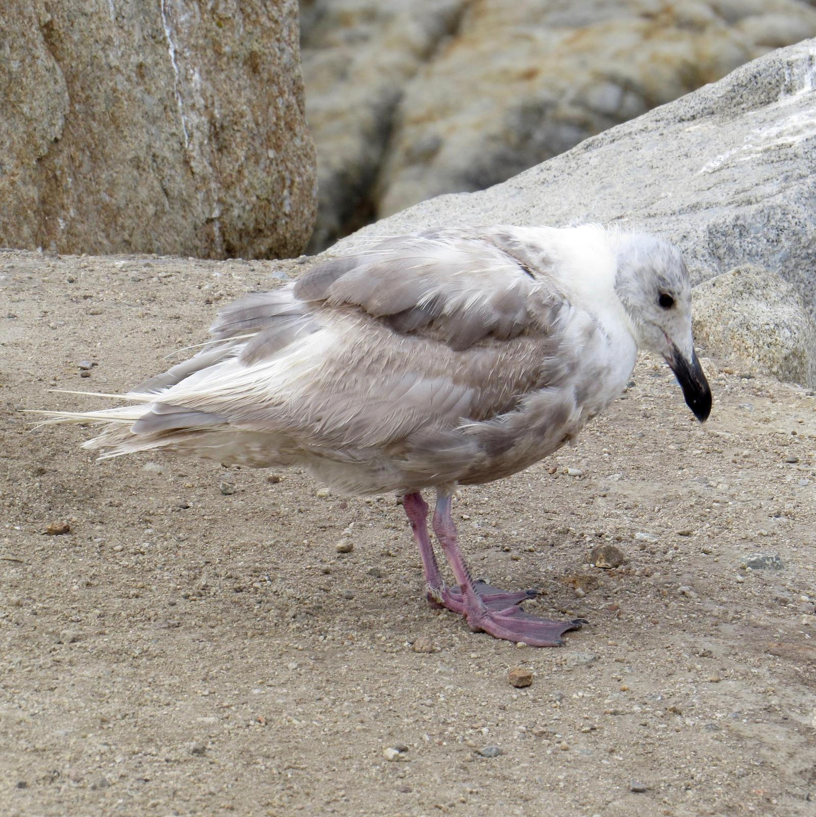 Glaucous-winged Gull Photo by Don Glasco