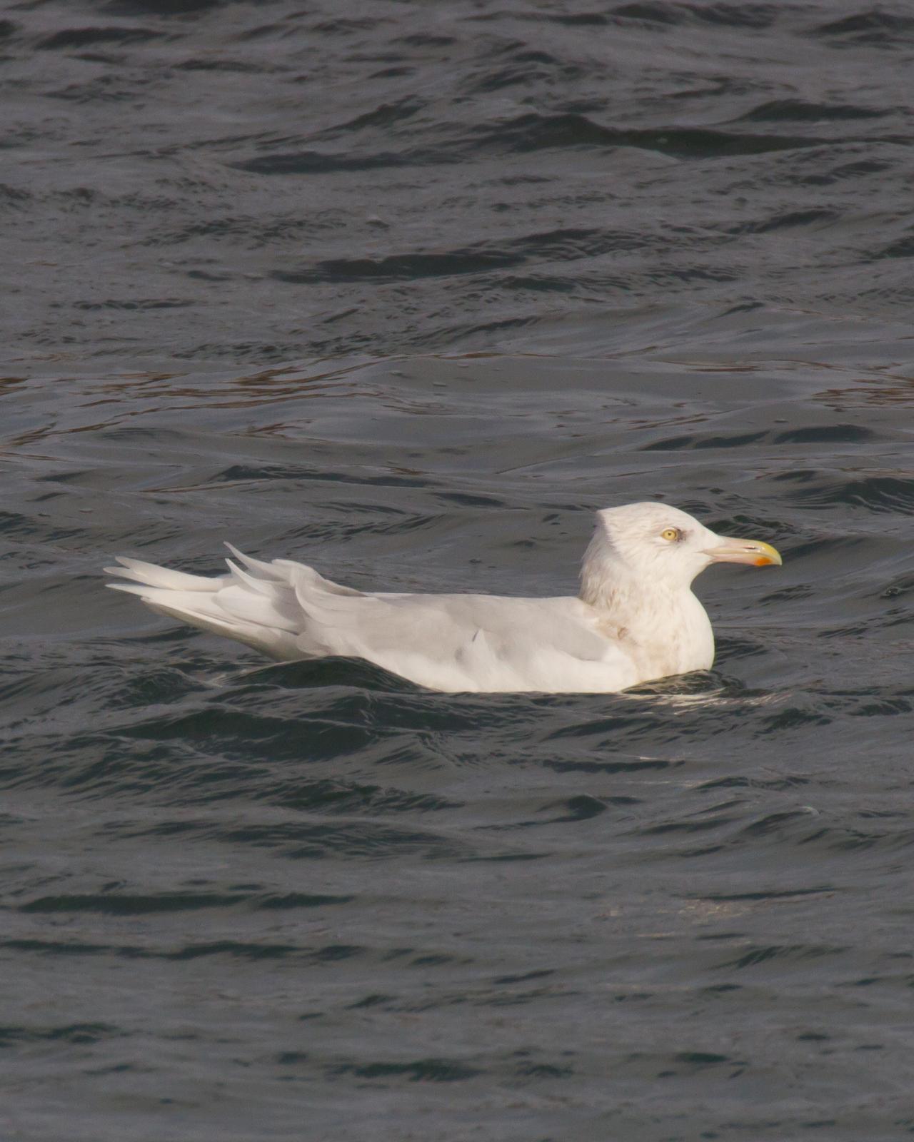Glaucous Gull Photo by Kasia  Ganderska Someya