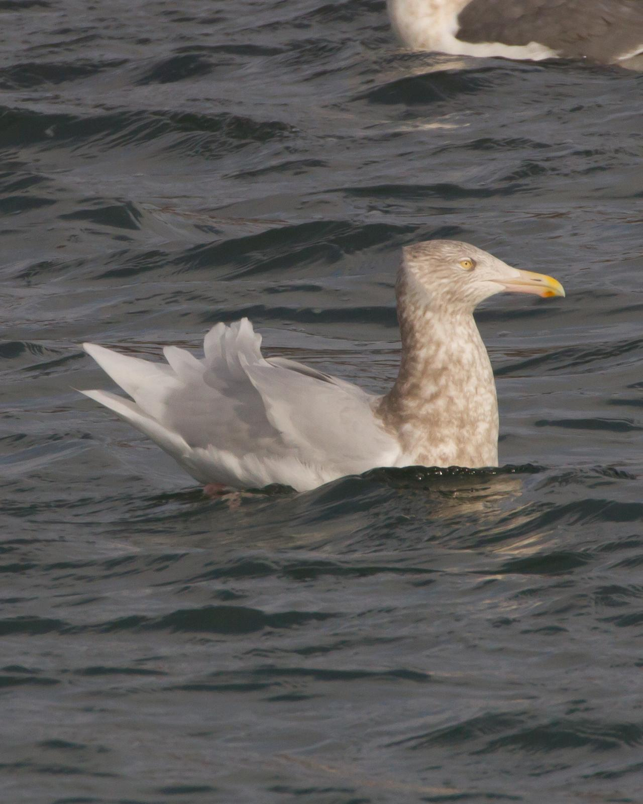 Glaucous Gull Photo by Kasia  Ganderska Someya