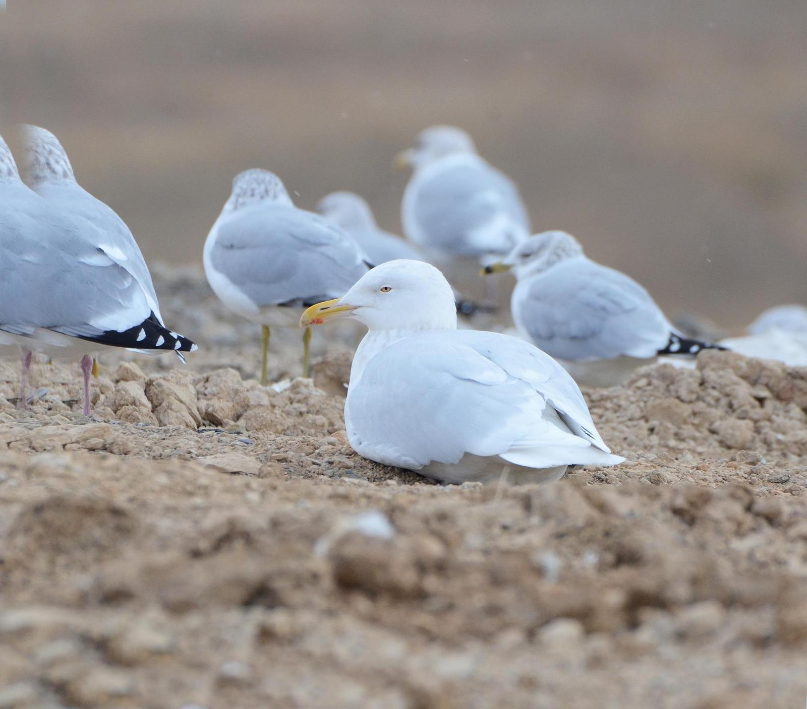 Glaucous Gull Photo by Steven Mlodinow