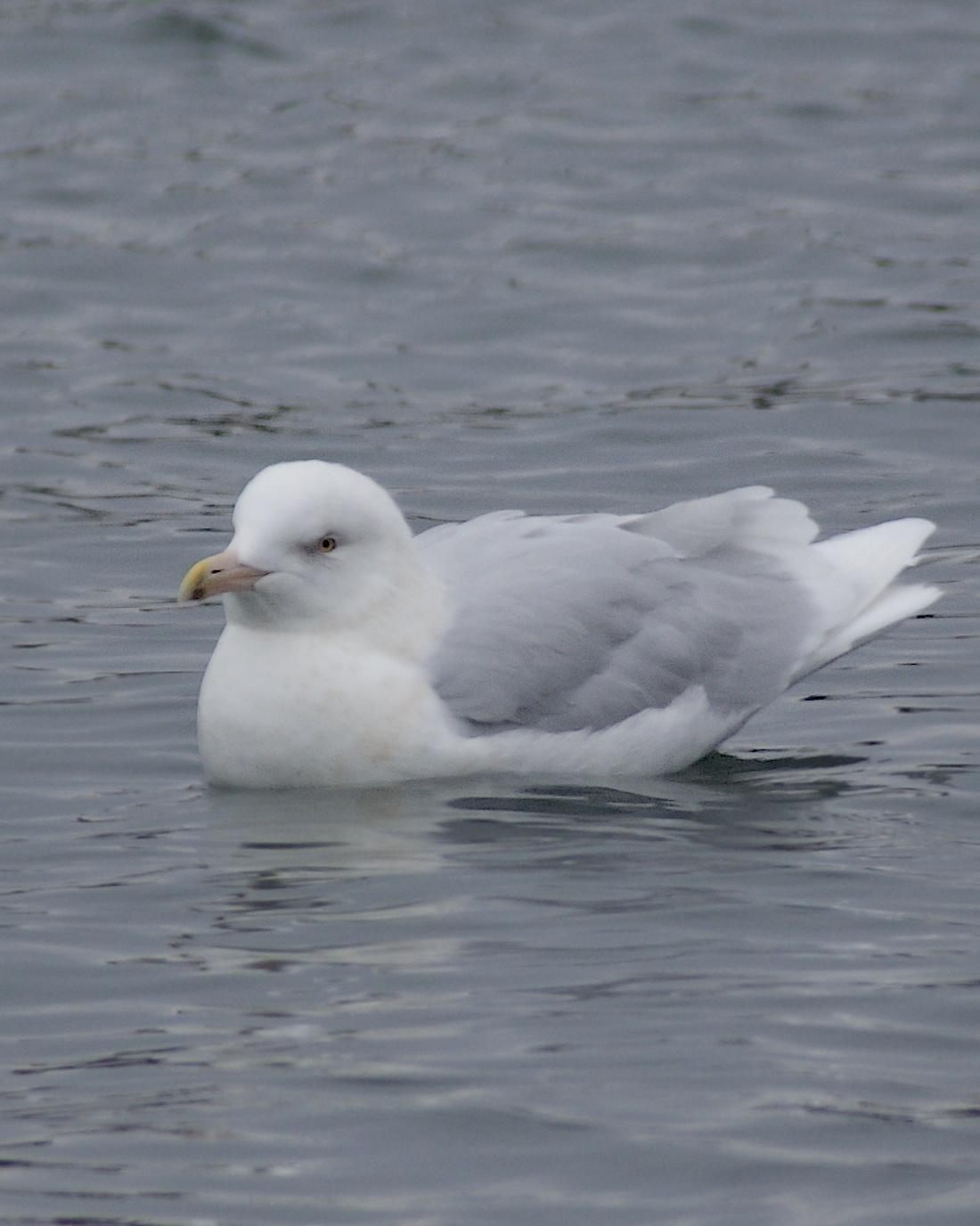 Glaucous Gull Photo by Gerald Hoekstra