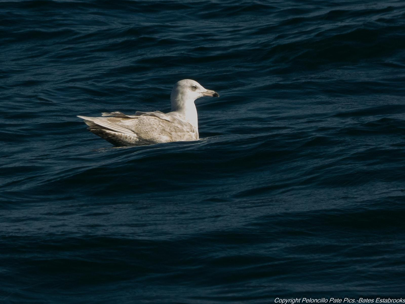 Glaucous Gull Photo by Bates Estabrooks