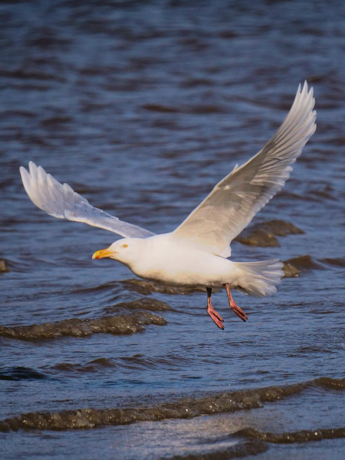 Glaucous Gull Photo by Peter Lowe